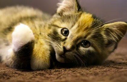 talking-cat
