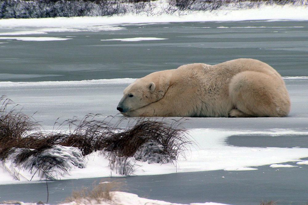viasat-nature-Polar bear town