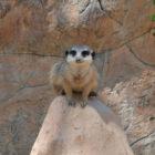 zoo-ljubljana-surikata