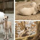 odprt zoo ljubljana živalski vrt 2021